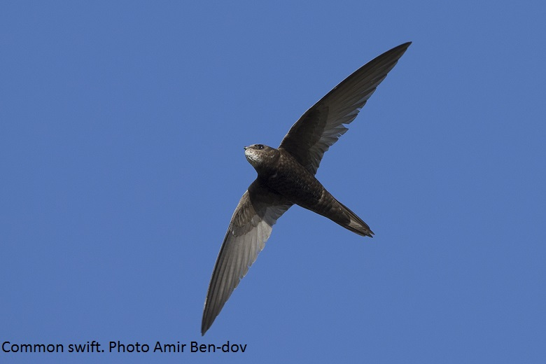 Common swift Photo Amir Ben dov