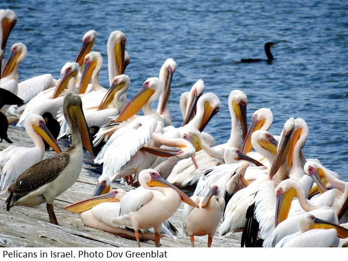 Migrating Pelicans in Israel. Photo: Dov Greenblat