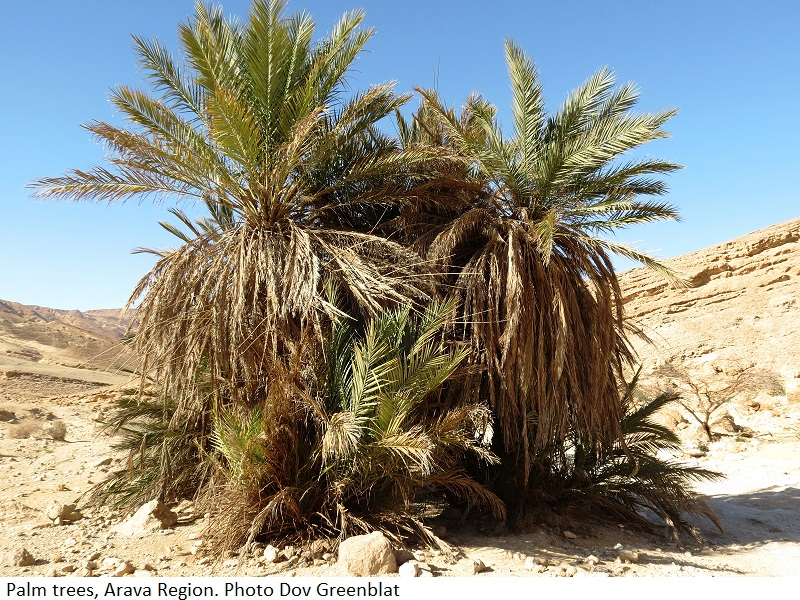 Palm trees Arava region. Photo Dov Greenblat