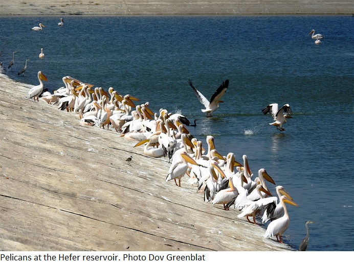 Pelicans at Hefer Valley reservoir.  Photo Dov Greenblat