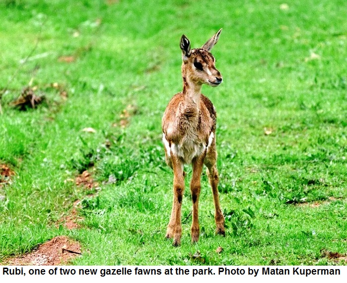Rubi one of two new gazelle fawns at the park. Photo by Matan Kuperman