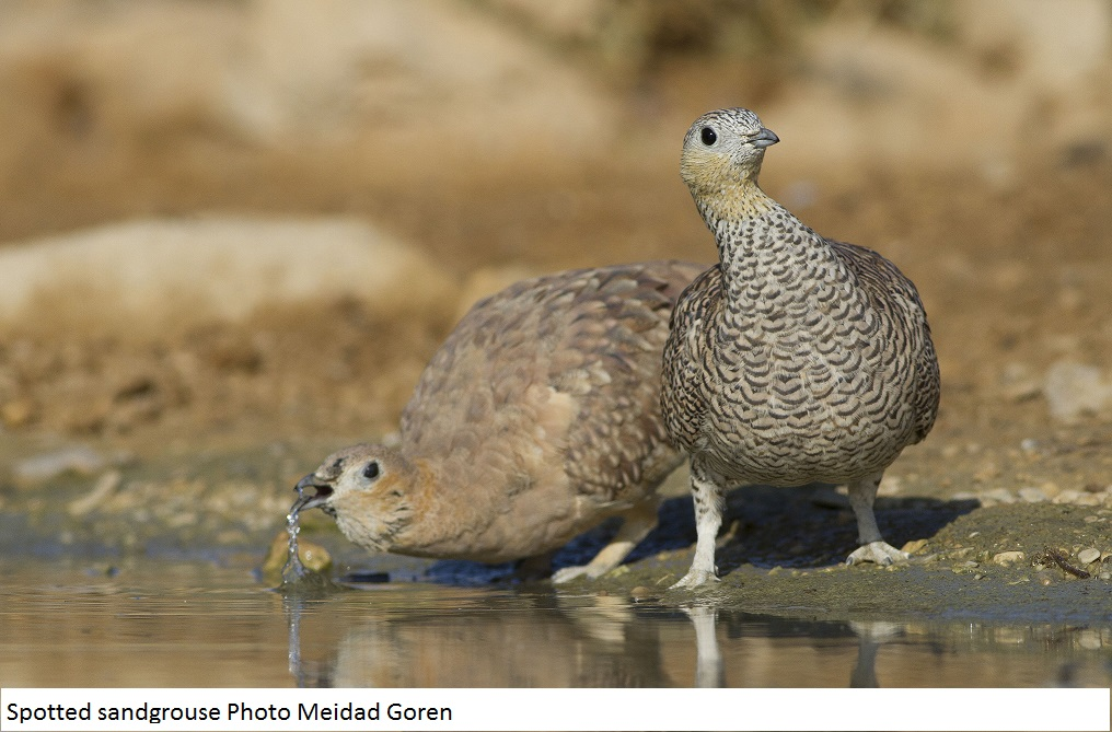 Spotted sandgrouse Photo Meidad Goren