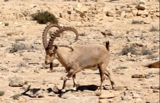 Ibex at Mitzpeh Ramon (click for Hebrew)