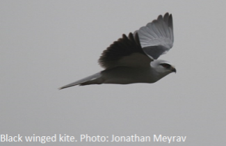 Black winged kite. Photo Jonathan Meyrav