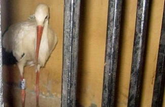 Spy Stork Under Arrest - Photo Credit:AP
