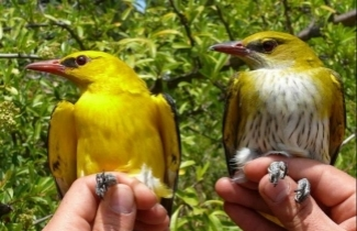 Golden Orioles