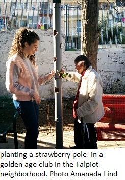 planting a strawberry pole  in a golden age club in the Talpiot neighborhood. Photo Amanada Lind