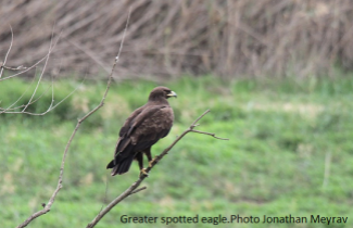 Greater spotted eagle.Photo Jonathan Meyrav
