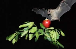 Apple Growers Use Bats for Bio-Pest Control