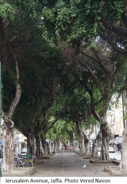 Trees at Jerusalem Avenue, Jaffa. Photo Vered Navon