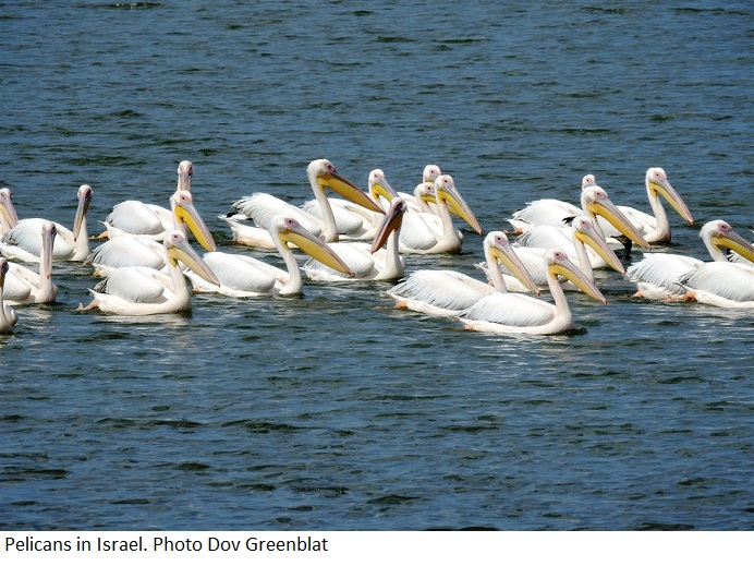 Migrating Pelicans Photo Dov Greenblat