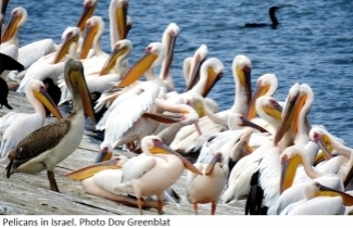 Pelicans in Israel. Photo Dov Greenblat