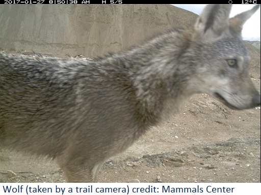 Wolf. Photo taken by a trail camera.Credit: Mammal Center