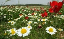 flowering loess plain sacrificed for forests