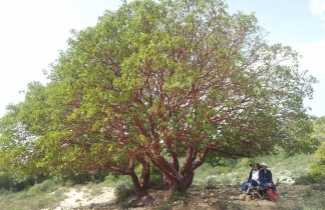 Strawberry Tree - Credit Pazit Shvaid (click for Hebrew)