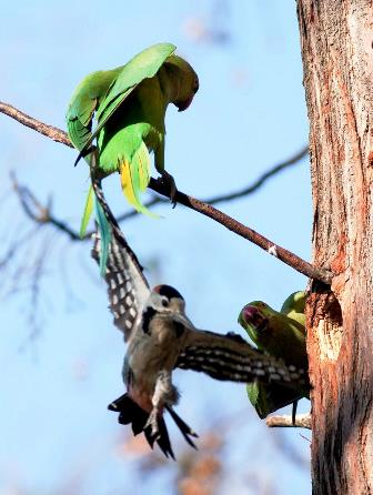 parakeets fighting for territory with a Syrian woodpecker