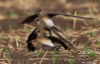 Collared Pratincoles breeding