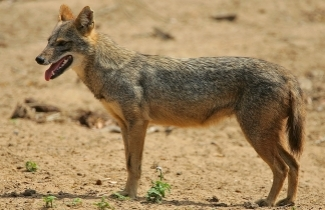 Golden Jackal (Photo: Steve Garvie)