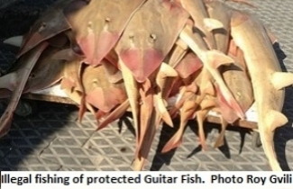 Illegal fishing of protected Guitar Fish.Photo Roy Gvili