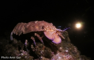 Slipper lobster. Photo Amir Gur