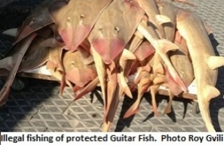 Illegal fishing of protected Guitar Fish. Photo by Roy Gvili.